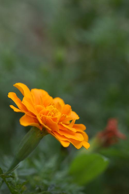 オレンジ 花