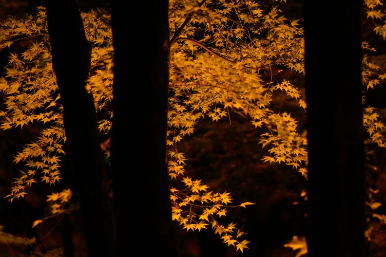 香嵐渓 夜 樹 紅葉 2007