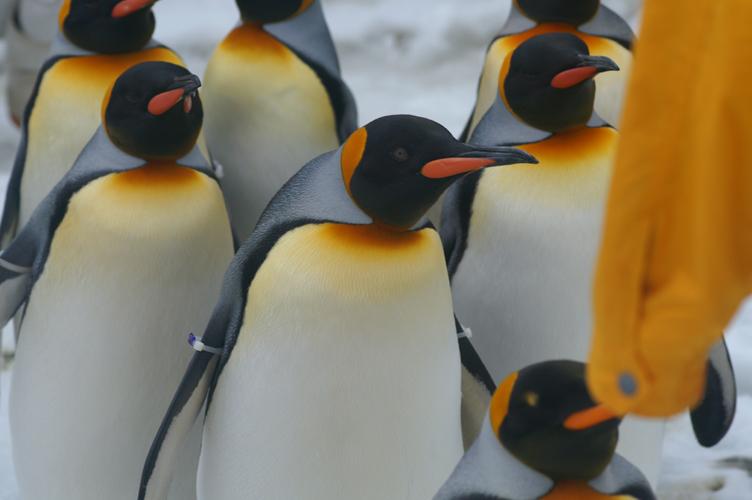 オウサマペンギン 海遊館 大阪