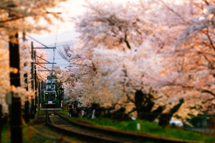 京都 京福電気鉄道 北野線 鳴滝 宇多野 桜並木 単線 電車 夕方 レタッチ
