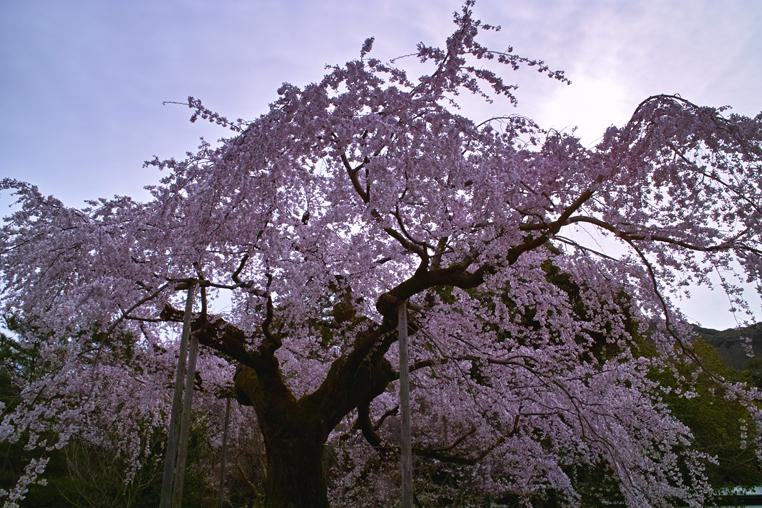 シダレザクラ 京都 枝垂れ 桜 ピンク 木 逆光