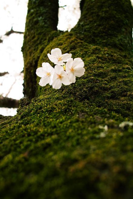 京都 苔 桜 幹 見上げる くもり