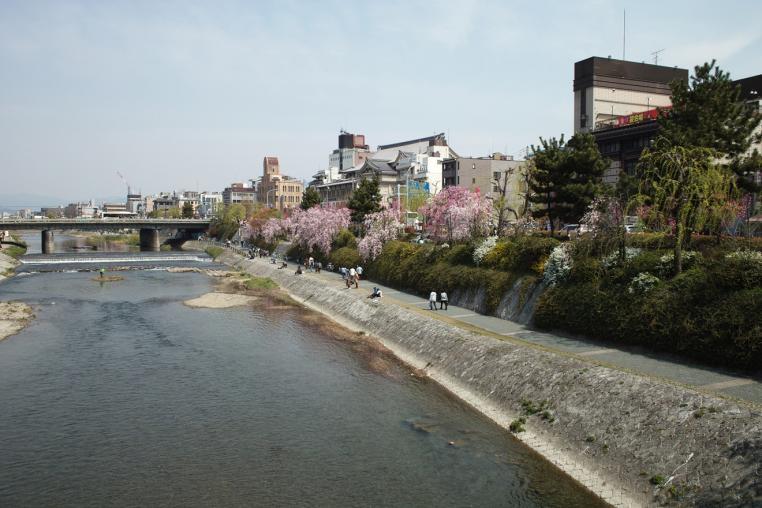 京都 鴨川 河川敷 桜 川岸 サクラ 朝