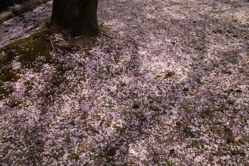名古屋城 園庭 サクラ 花びら ピンクのじゅうたん