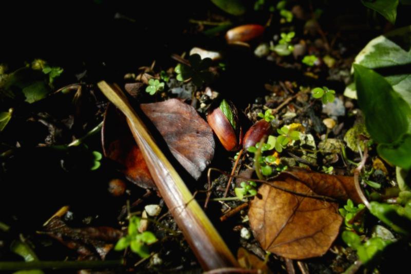 どんぐり 芽 庭 土 木漏れ日 春 緑