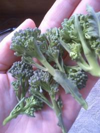 2-26茎ブロッコリー