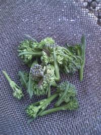 3-7茎ブロッコリー