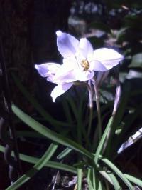 4-6花ニラ