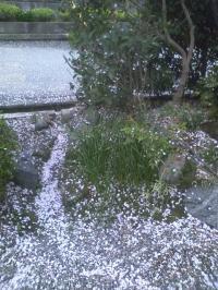4-16桜