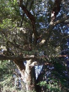 スダジイの大木 クリックで拡大