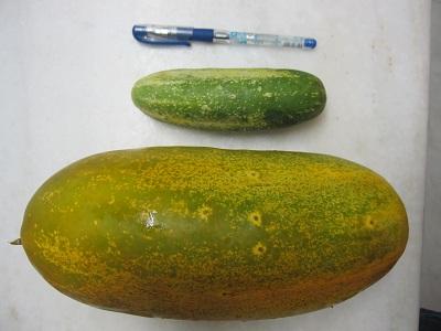cucumber11a.jpg