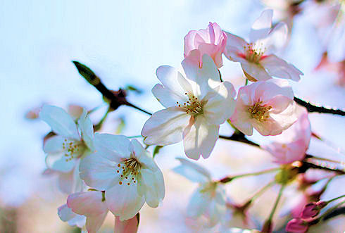 2010の桜