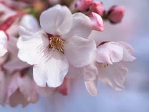 桜 ブログ2