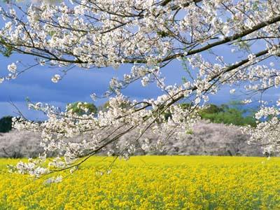 桜・菜の花ブログ
