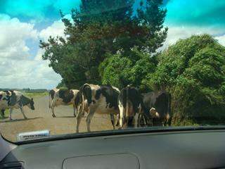 cow1.jpg