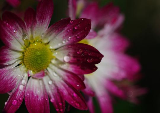 野菊の雫1