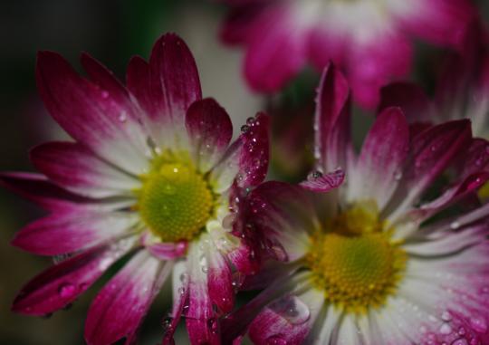 野菊の雫2