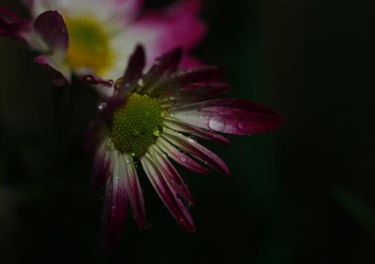野菊の雫3