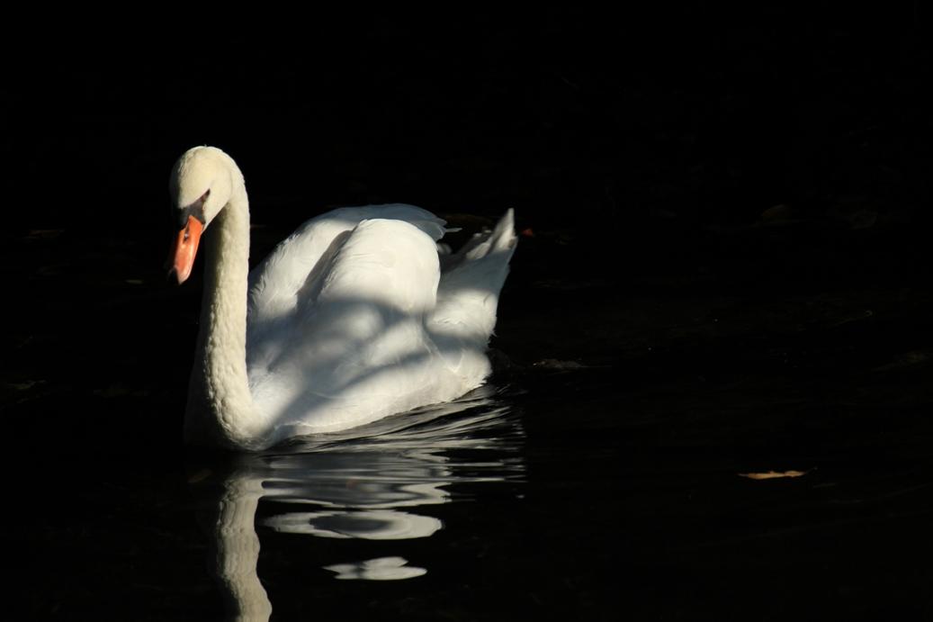 IMG_2852S白鳥