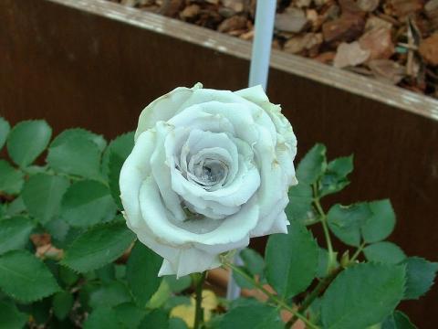 060527-Rose