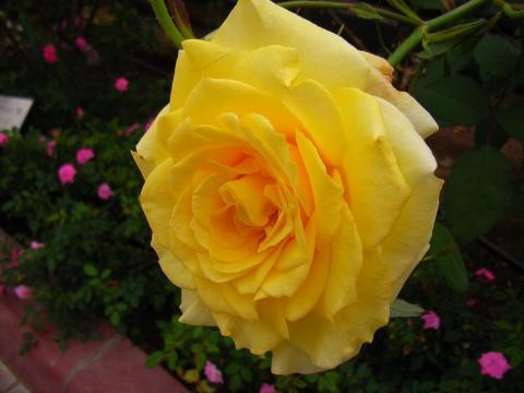 060529-Rose2