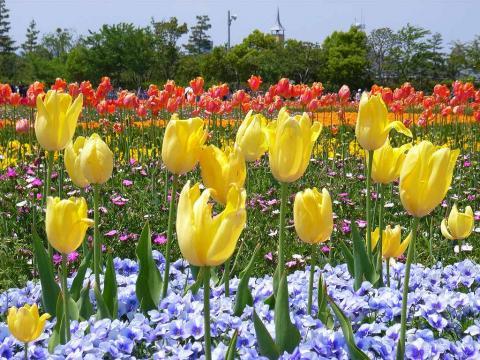 060622-Tulip