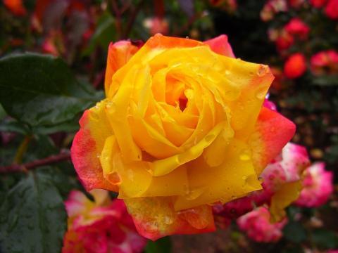 060626-Rose