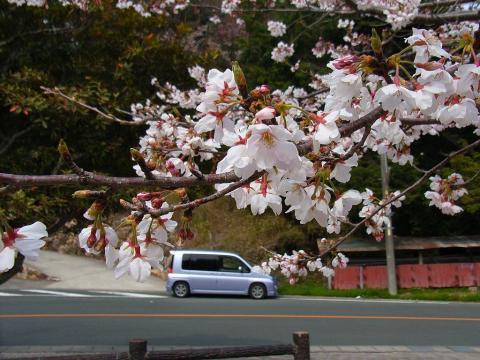 061226-Sakura