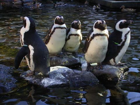 070107-Penguin