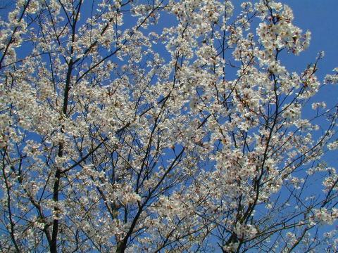 070123-Sakura