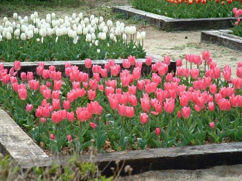 070223-Tulip