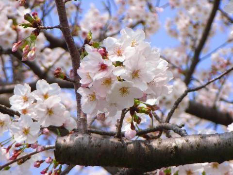 070401-Sakura