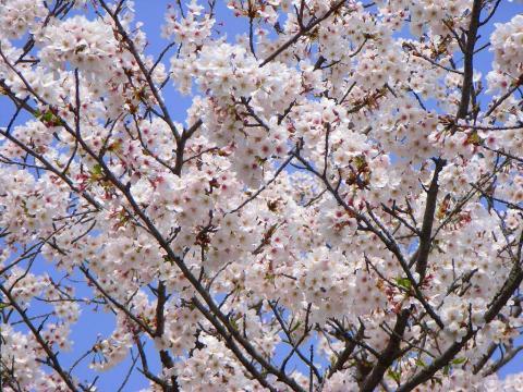 070402-Sakura