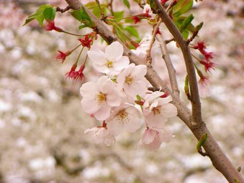 070406-Sakura
