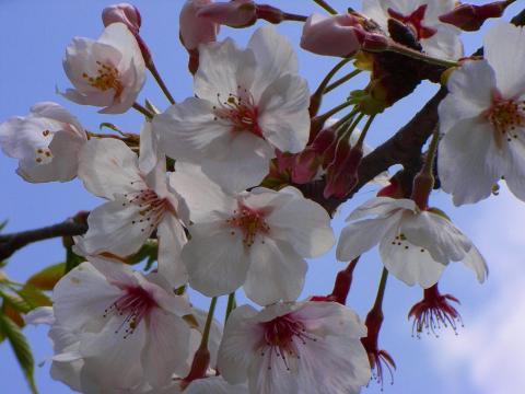 070407-Sakura