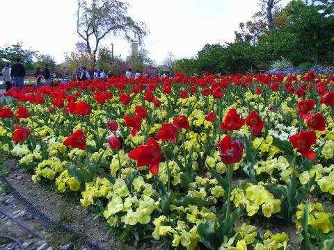 070417-Tulip-1