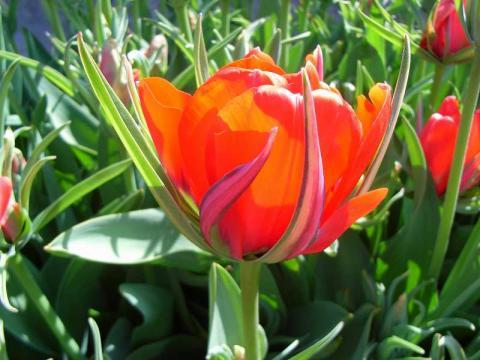 070418-Tulip1