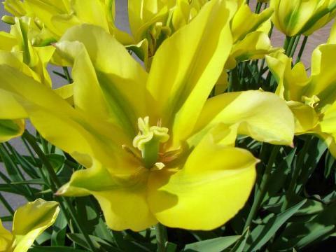 070418-Tulip2