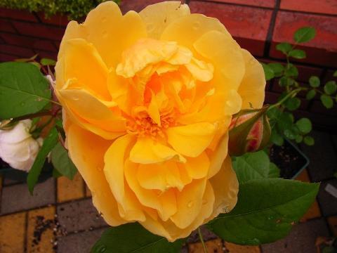 070519-Rose3