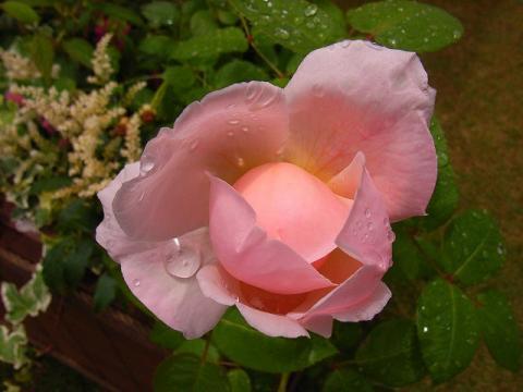 070519-Rose4