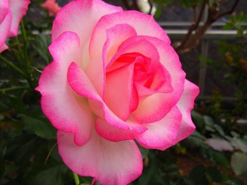 070519-Rose5