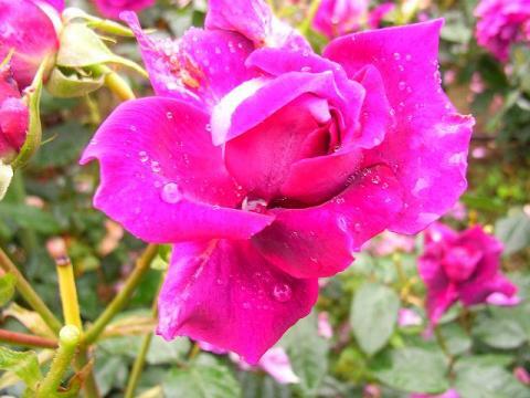 070519-Rose6