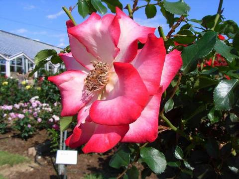 070522-Rose-2