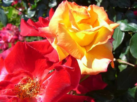 070522-Rose-3