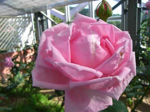 070523-Rose2