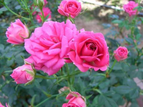 070523-Rose3