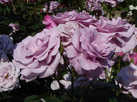 070524-Rose2