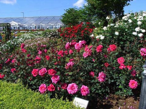 070524-Rose4