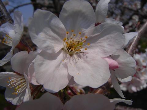 080327-Cherry02