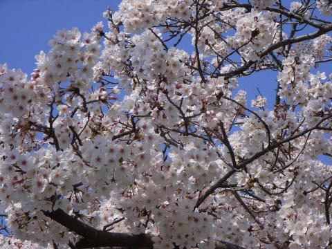 080331-Sakura-Original